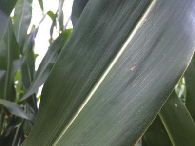 转基因玉米叶子完好。