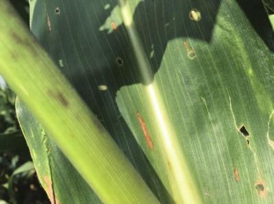 非转基因玉米叶子被虫蚕食。