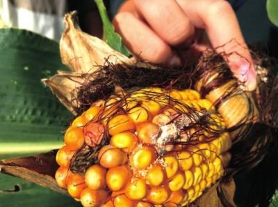 非转基因玉米果实附着害虫。