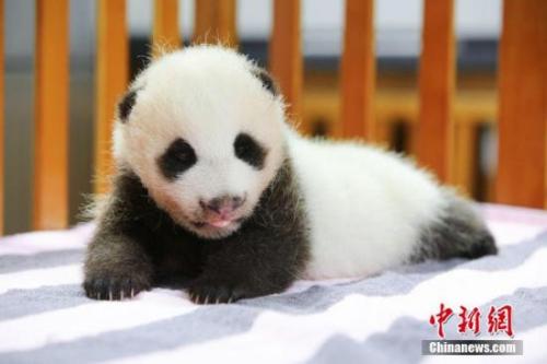 材料图:熊猫宝宝