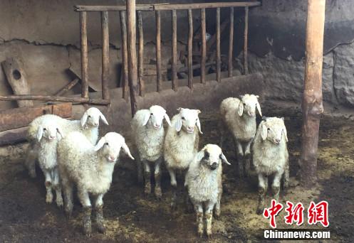 武玉萍野生殖的羊。中新网 记者 摄