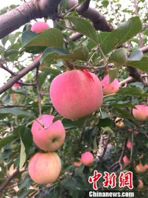 静宁县果园内的苹果。中新网 种卿 摄