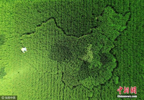 """老人培育400多种水稻 种""""中国地图""""迎国庆图片"""