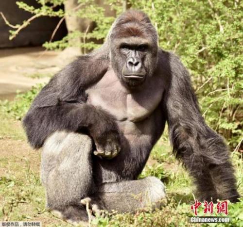 材料图:大猩猩
