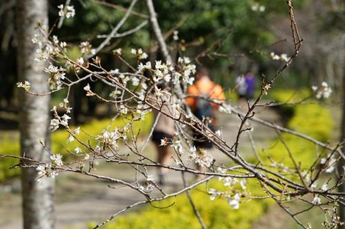 南投县奥万大森林游乐园区的雾社山樱以往都是2月下旬至3月中旬为开花期,但目前却已开花。台湾《联合报》记者陈妍霖摄影