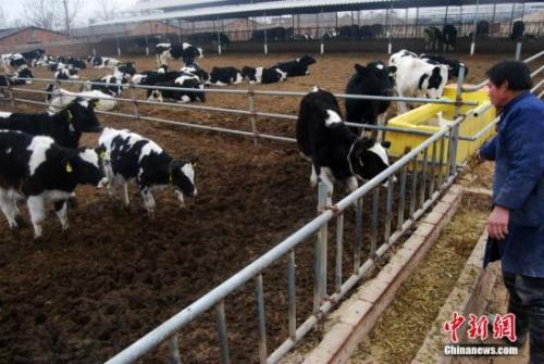 图为奶牛养殖厂。 /p中新社发 翟羽佳 摄