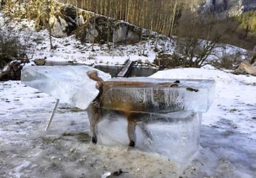 民众将狐狸被冻住的冰块切割出来。