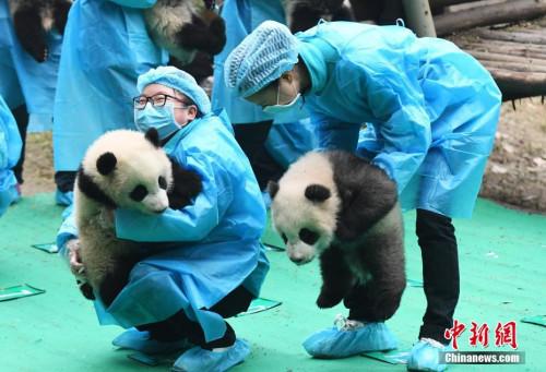 """四川大熊猫""""拜年""""贺新春 送出""""最萌""""鸡年祝福"""