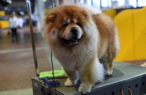 参加本届西敏寺犬展的一只松狮犬。