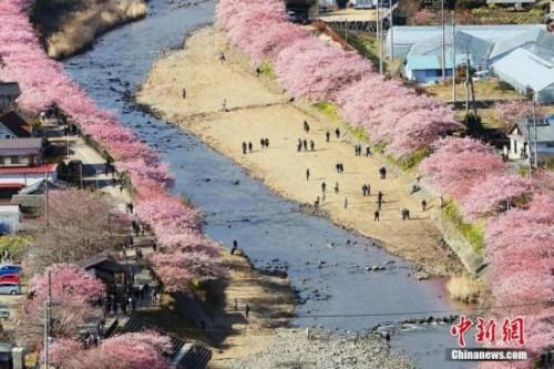 日本早春樱花盛开 形成粉色花道浪漫唯美(组图)