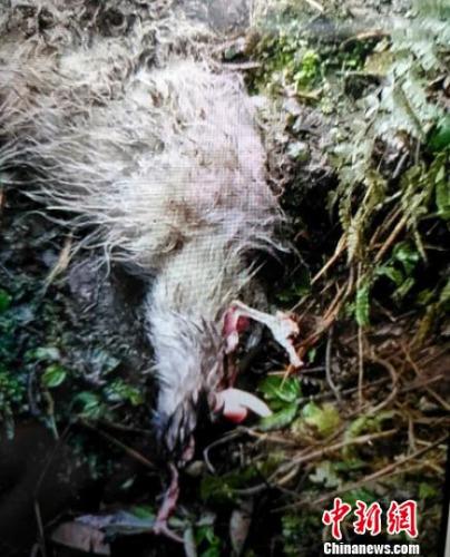 被大熊猫猎食的山羊尸体。 钟欣 摄
