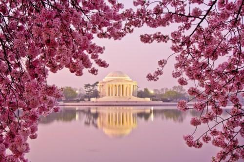 资料图:华盛顿樱花盛开。