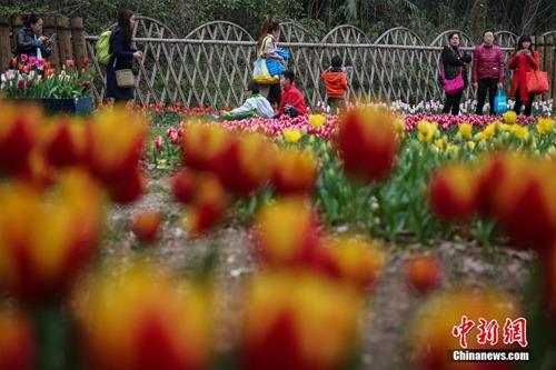 资料图:武汉植物园内郁金香、风信子等花卉争相开放,人们纷纷相伴外出踏青赏花。 邱灵 摄