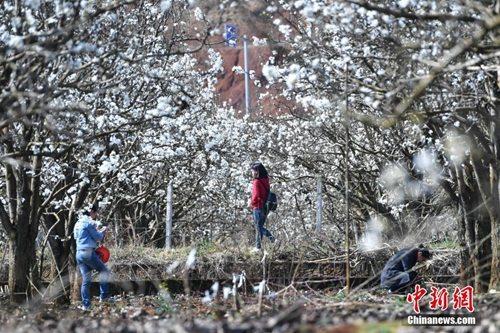 资料图:昆明梨花开,人们在踏春赏花。记者 任东 摄