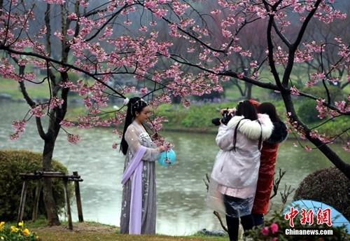 资料图:武汉东湖樱园樱花开放,游客和市民在雨中观赏樱花。记者 张畅 摄