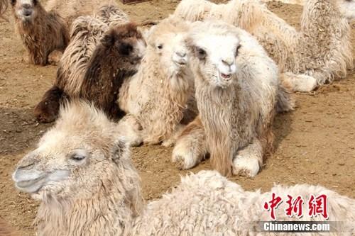 """新疆北部骆驼产崽进入高峰期 """"驼崽""""憨态可掬(图)"""
