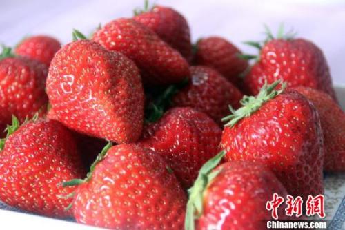 """伴随音乐生长的""""红颜""""草莓。 于俊亮 摄"""