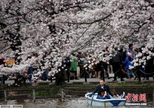 资料图:日本樱花