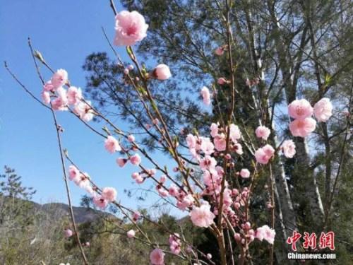 资料图:盛开的桃花。 记者 张尼 摄