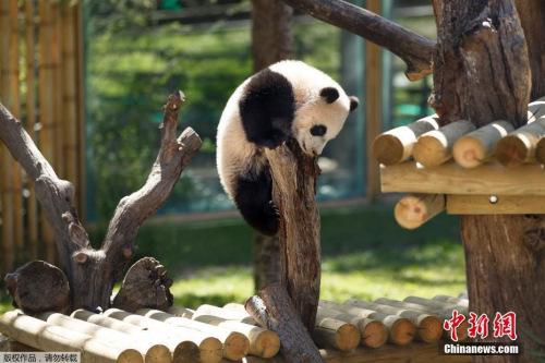 熊猫资料图。
