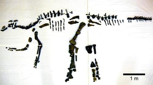 挖掘出的鸭嘴龙科恐龙化石(来源:鹉川町立穗别博物馆)
