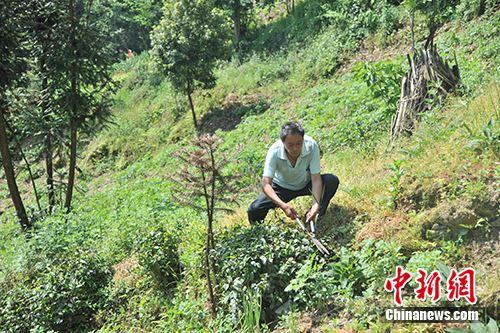 板厂村村民在修剪茶树。记者 宋宇晟 摄