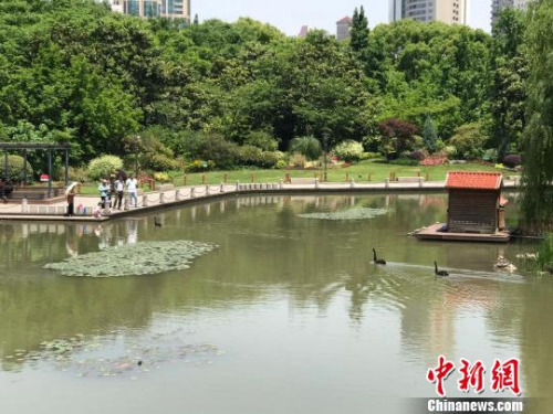 上海徐家汇公园内,发现有人喂食,3只黑天鹅便会游到岸边。现在公园内只能看到4只黑天鹅。 王子涛 摄