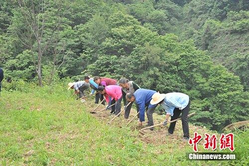 正在中药材种植基地干活的铁佛村村民。记者 宋宇晟 摄