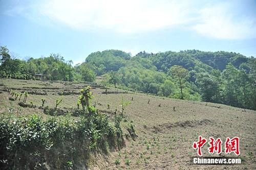 板厂村的中药材种植基地。记者 宋宇晟 摄