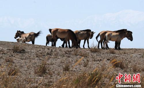 远处的阿尔金山的雪山美景和普氏野马种群。杨艳敏 摄