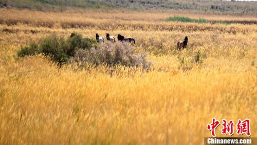 """1986年林业部制定""""野马返乡计划"""",甘肃从德国慕尼黑动物园引进野马18匹,在武威建立了繁育中心。 杨艳敏 摄"""