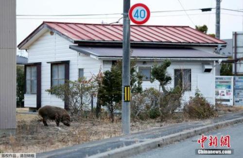 资料图:日本街边的野猪