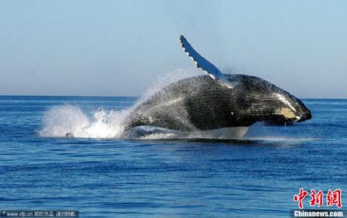壁纸 动物 海洋动物 鲸鱼 桌面 500_314