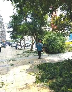 日前,自贡荣县新老城区开始大规模修剪行道树。