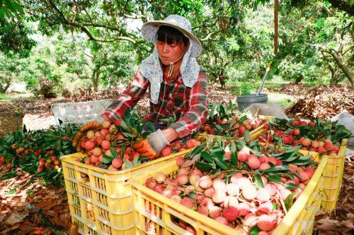 菜鸟茂名产地仓附近,果农在采摘荔枝