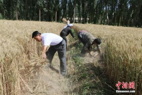 资料图:农民正在收割小麦。 陈雪茹 摄