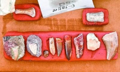 此次发现的恐龙和鳄类牙齿化石。新华社记者 许畅摄