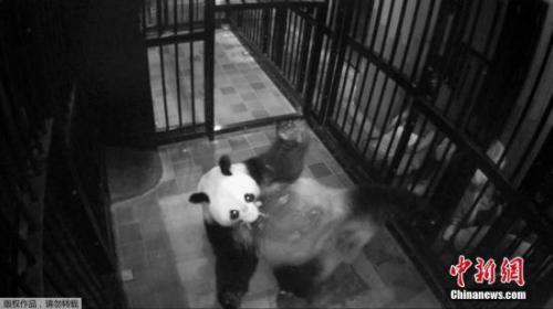 健康状况好:东京动物园为旅日大熊猫幼崽体检