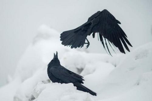 研究:乌鸦懂自律以换更高回报 会用工具做交易