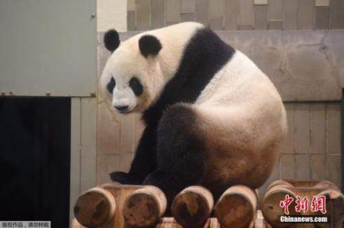 """资料图:东京上野动物园的雌性大熊猫""""真真"""""""