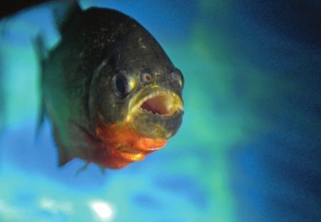 食人鱼被当观赏鱼养 鱼友呼吁不要放生至自然