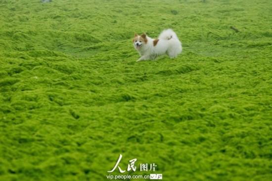青岛石老人海水浴场.一只宠物狗在浒苔上玩耍