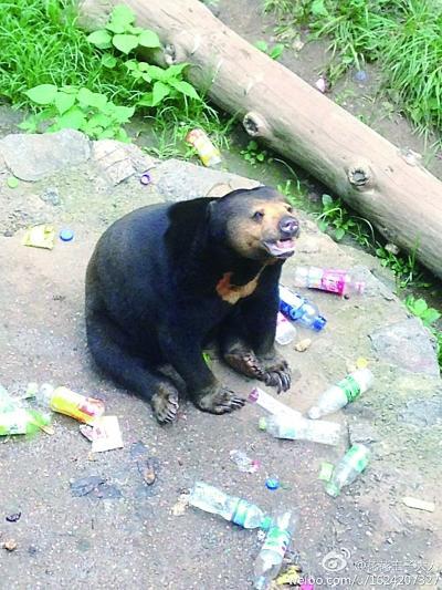 她在南京红山森林动物园拍摄的图片,一只马来熊坐在十几个塑料瓶中间