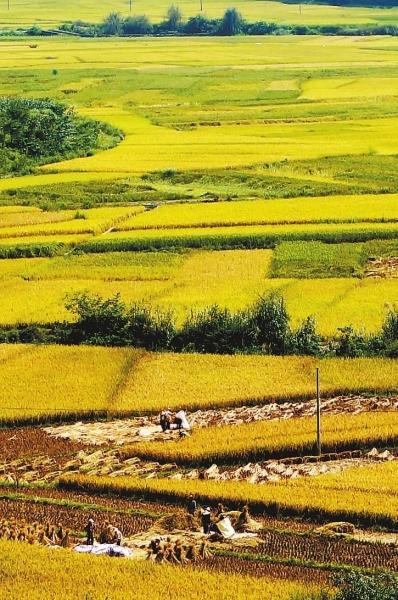 3日,广西百色靖西县新靖镇旧州街的农民在田间抢收稻谷.