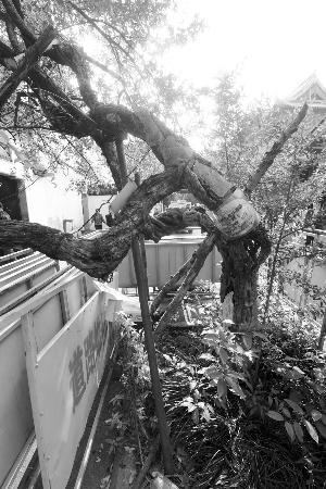 石榴树结满了果实,树身承重增加不少,再加上一场突如其来的大雨,树根