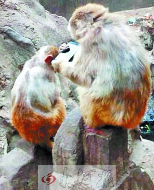 情侣动物园游玩手机掉猴池 猴子自拍玩上瘾(图)