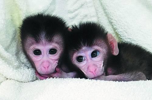 中国科学家实现灵长类动物基因定向敲除