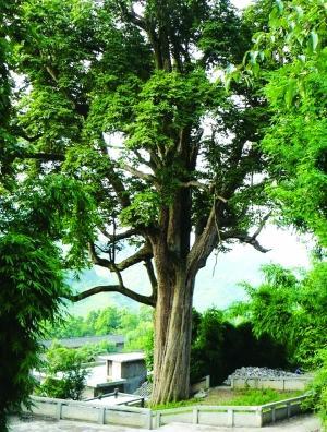 贵州发现树龄超1300年楠木古树