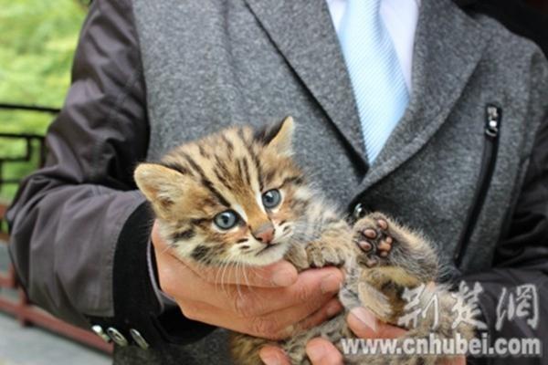 (通讯员 彭剑利、高晓清)5月29日,神农架林区天燕景区的工作人员谭林给笔者展示了其与国家二级保护动物豹猫的合影照片。他说自己在巡山时发现了这个可爱的小家伙,于是特意和它留了个影。   据谭林介绍,27日中午12时左右,自己在天燕景区巡查山林后,正准备回食堂吃饭,突然不知从哪里蹿出一只形似家猫的动物,体形比家猫大,身上的毛色又像豹。谭林怀着好奇心把它抓起来,原以为是只家猫,后经保护区科研人员确认为国家二级保护动物豹猫。经过测量,发现这只豹猫体长90厘米,高40厘米,大概两岁左右,头圆吻短,眼睛大而