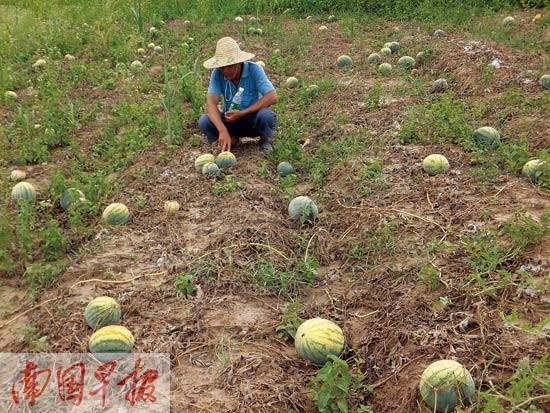 西瓜迟迟长不大烂在地里卖不出 村民摘瓜喂鸡牛